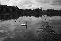 Berlin, Malchower See (tom-schulz) Tags: x100f rawtherapee monochrom bw gimp sw berlin thomasschulz see teich wasser wasservogel schwan ente schilf strommasten himmel wolken