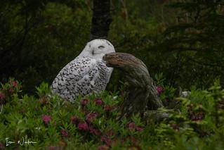 Snowy Owl-SNP-18-2