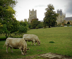 Ely (Pastoral)    140918 (chrisdpyrah) Tags: ely cathedral cattle pastoral landscape