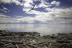 searching (spawc) Tags: log logs driftwood beach victoria bc canada clouds bird birds seagull ocean seascape