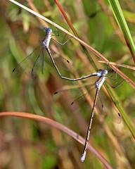 Carolina Spreadwings (Lestes vidua) (Mary Keim) Tags: taxonomy:binomial=lestesvidua centralflorida marykeim seminolestateforest