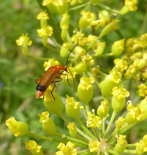 Common Red Soldier Beetle, Two