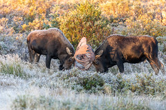 September 8, 2018 - Moose bulls battle on a frosty morning. (Tony's Takes)