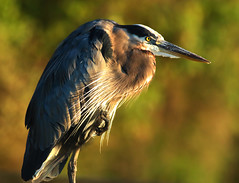 Concentration (dianne_stankiewicz) Tags: nature wildlife bird heron greatblueheron morning light concentration naturethroughthelens coth5