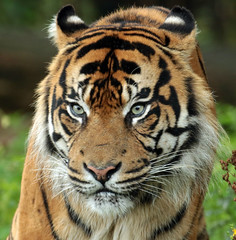 sumatran tiger Burgerszoo JN6A3298 (j.a.kok) Tags: tijger tiger sumatraansetijger sumatrantiger pantheratigrissumatrae animal asia azie sumatra mammal zoogdier dier predator kat cat burgerszoo burgerzoo