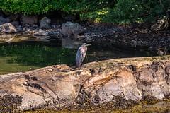 Sunbathing Great Blue Heron (MIKOFOX ⌘ Thanks 4 Your Faves!) Tags: canada bird britishcolumbia coastline heron xt2 water vancouverisland learnfromexif july rocks landscape provia fujifilmxt2 mikofox showyourexif summer xf18135mmf3556rlmoiswr