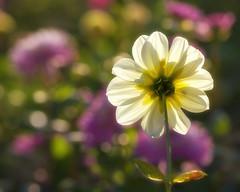 Last days of summer (FocusPocus Photography) Tags: dahlie dahlia blume flower pflanze plant sommer summer sonnig sunny