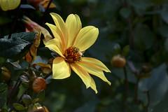 Dahlia (5) (JLM62380) Tags: dahlia bug insect red fleur rouge flower nature garden pétales insecte bee