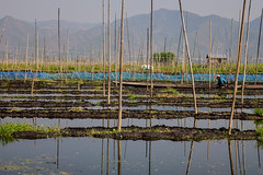 Floating garden on Inle Lake, Myanmar (phuong.sg@gmail.com) Tags: agriculture asia boat burma countryside culture eco farm farmer farming fisherman fishermen fishing floating food freshwater garden grass green harvest inle intha kayak lake landscape life morning myanmar nature net organic outdoor paddle people plant river rural scene selling shan ship state sunrise traditional water work