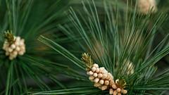 White Pine (joeldinda) Tags: potter yard tree home 2018 mulliken needles omd em1ii 4116 may em1 omdem1mkii olympus
