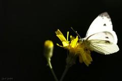 Ombre et lumière (David Bertholle) Tags: clair obscur piéride papillon butterfly nature macro makro insect ngc sigma ombre lumière pénombre dof bokeh d7200