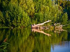 Zoom natural (Luicabe) Tags: agua airelibre animal árbol ave cabello carrizo cieloazul corriente duero enazamorado exterior luicabe luis naturaleza ngc paisaje pato reflejo río tronco vegetación yarat1 zamora