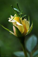 Grasshopper (nagyistvan8) Tags: nagyistván túrkeve magyarország magyar hungary nagyistvan8 szöcske grasshopper természet nature ngc színek colors fekete fehér szürke barna sárga zöld narancs yellow green orange black white grey brown rovar insect rózsa rose növény plant flora fauna szombat saturday smileonsaturday uniflona macro virág flower natural mosoly smile 2018 nikon cof035mari cof035dmnq cof035hole cof035ally cof035chon