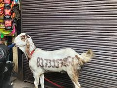 Poor Goat... Too Down in the List... Her Amazon Best Sellers Rank (Mayank Austen Soofi) Tags: poor goat too down list her amazon best sellers rank
