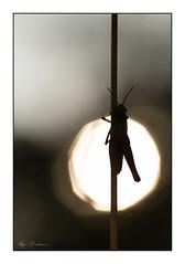 Le jour se lève (Rémi Marchand) Tags: canon5dmarkiii macro criquet insecte contrejour silhouette canonef100mmf28l