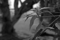Hanging Drops (PositiveAboutNegatives) Tags: nikon slr 35mm nikonf eyelevel plainprism sunny16 50mm 50mmnikkorh nonai film analog bw blackandwhitefilm hc110 coolscan kentmere100 bokeh raindrops
