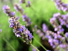 Scent of lavender (alex.gb) Tags: scentoflavender scent lavender lavanda flower closeup