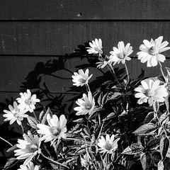 Daisies in the Sun (SebRiv) Tags: ombres contrastes contrasts maine wall shadow daisies marguerite marguerites contrast flowers fleurs noiretblanc bw monochrome blackandwhite