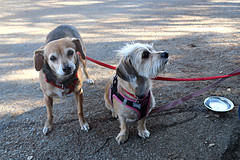 Comet & Hailey (Webfoot5) Tags: dog dogs dogsonwalks dogzonwalkz beagle dachshund terriermix