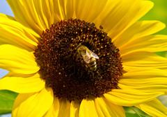 Sonnig / Sunny # 4 (schreibtnix on 'n off) Tags: deutschland germany bergischgladbach natur nature tiere animals insekten insects honigbiene honeybee apismellifica pflanzen plants blumen flowers blüte blossom gelb yellow nahaufnahme closeup sonnig sunny olympuse5 schreibtnix
