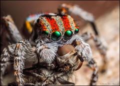 Cuddles (GTV6FLETCH) Tags: maratus peacockspider spider jumpingspider macro macrophotography peacockjumpingspider maratusvolans canon canoneos5dmark2 canonmpe65mm15xmacro canonmpe65mmf2815xmacrophotolens mpe65mm mpe65 mpe 5dmii