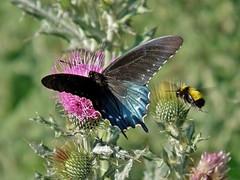 Battus philenor philenor (Linnaeus, 1771) (carlos mancilla) Tags: insectos mariposas butterflies battusphilenorphilenorlinnaeus1771 battusphilenorphilenor mariposaluminaria pipevineswallowtail papilionidae papilioninae olympussp570uz