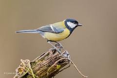Great Tit D85_2314.jpg (Mobile Lynn) Tags: nature greattit birds tits bird fauna oscines passeri passeriformes songbird songbirds wildlife coth specanimal coth5 ngc npc