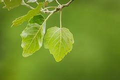 Underside (Future-Echoes) Tags: 4star 2018 bokeh depthoffield dof leaf nature underside veins whetmeadnaturereserve witham
