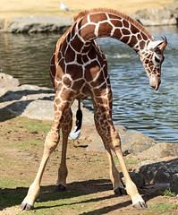 reticulated giraffe artis JN6A5942 (j.a.kok) Tags: giraffe giraffacamelopardalisreticulata giraffacamelopardalis netgiraffe giraf reticulatedgiraffe animal artis africa afrika mammal herbivore zoogdier dier hoefdier