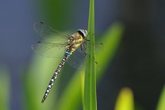 K32P9579c Migrant Hawker, Lackford Lakes, August 2018 (bobchappell55) Tags: lackfordlakes suffolk nature wild wildlife insect dragonfly migranthawker aeshnamixta