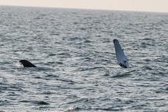 AHK_7639 (ah_kopelman) Tags: unkmncresli2018082602 2018 cresli creslivikingfleetwhalewatch megapteranovaeangliae montaukny vikingfleet vikingstarship flipperslappingandrollover humpbackwhale whalewatch