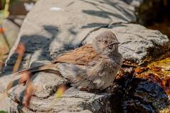 Dunnock (Linda Martin Photography) Tags: bird dorset prunellamodularis dunnock wildlife animal uk nature coth alittlebeauty specanimal ngc coth5 naturethroughthelens npc