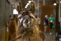 Minnesota State Fair 20180831-DSC00260 (Prairieworks Pictures) Tags: minnesotastatefair llama animal indoors bokeh face naturallight sony alpha a6500 zeiss variotessare1670 rocksandwaters
