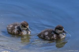 Egyptian goose chicks.
