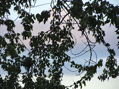 Tree Branch Silhouette. (dccradio) Tags: lumberton nc northcarolina robesoncounty outdoor outdoors outside nature natural godshandiwork godscreation tree trees foliage summer summertime august thursday evening dusk sky cloud clouds bluesky branch branches treebranch treebranches treelimb treelimbs summerfoliage leaf leaves canon powershot elph 520hs