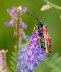 2018_07_0370 (petermit2) Tags: 6spotburnetmoth sixspotburnetmoth burnetmoth burnet moth northcavewetlands northcave brough eastyorkshire eastridingofyorkshire yorkshire yorkshirewildlifetrust ywt wildlifetrust wildlifetrusts