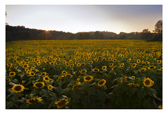 Sunflowers at sunset, Sussex County, NJ (danny wild) Tags: sunflower flower summer sunset farm sunflowers