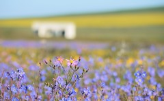 Wild Spring Flowers (naturesarte) Tags: pretty landscape flowers purple blue spring yellow beautiful magical magic nature natura photography southafrica colors countryside field flower pastel soft light bloemen darling naturaleza flickr explore