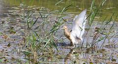 Crabier chevelu (fauneetnature) Tags: crabier crabierchevelu ornithologie ornithology oiseau bird animalier animal lacdubourget savoie