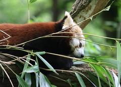 Red Panda (ow54) Tags: panda zoo tier animal