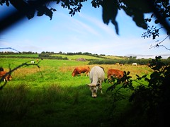 Love beautiful country side (krpena.lutkica) Tags: pasture cows sky harmony nature visiting country grass