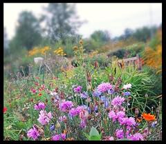 #flowerpower #flowers #Nikon50D 5.9.2018 #helsinki #finland (peltola.kristiina) Tags: flowerpower flowers nikon50d helsinki finland