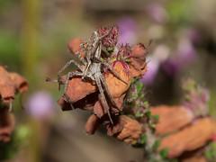 Pisaura mirabilis (nursery web spider) (Anne Richardson) Tags: spider arachnid invertebrate arne dorset wildlife nature macro macrophotography nurseryweb nurseryspider pisauramirabilis