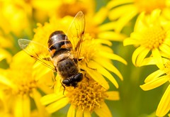 Wings (Karen_Chappell) Tags: fly insect macro yellow flower floral nature cloesup rown wildflower wildflowers goulds bidgoodpark bokeh canonef100mmf28usmmacro newfoundland nfld canada avalonpeninsula atlanticcanada tansy tansyragwort