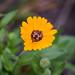IMG_2833 Бджілка на квітці