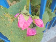 242 (en-ri) Tags: fiori flowers rossa verde blu sony sonysti foglie leaves recinzione