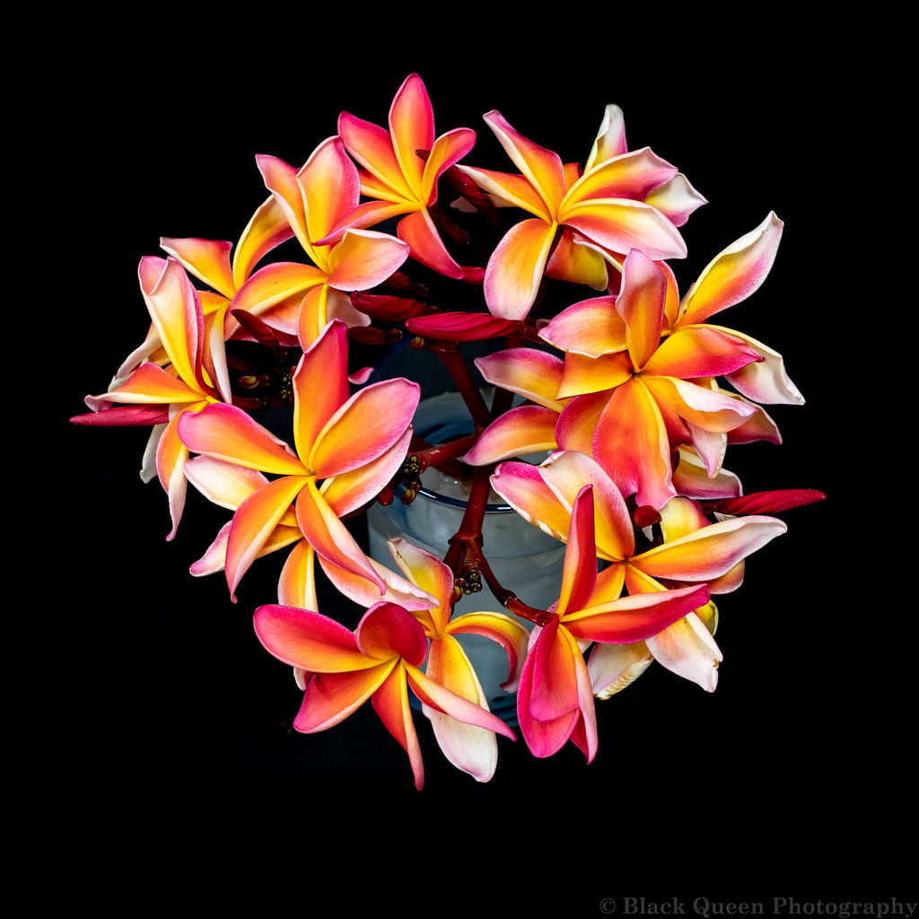 The worlds newest photos of flowers and plumeria flickr hive mind hawaiian plumerias black queen photography tags blooms flowers hawaiian orange pink plumeria plumerias izmirmasajfo