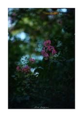 2018/8/5 - 14/18 photo by shin ikegami. - SONY ILCE‑7M2 / New Jupiter 3+ 1.5/50 L39/M (shin ikegami) Tags: 百日紅 sky 空 flower 花 井の頭公園 吉祥寺 summer 夏 sony ilce7m2 sonyilce7m2 a7ii 50mm lomography lomoartlens newjupiter3 tokyo sonycamera photo photographer 単焦点 iso800 ndfilter light shadow 自然 nature 玉ボケ bokeh depthoffield naturephotography art photography japan earth asia
