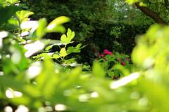 morning sunshine (Katrinitsa) Tags: sunlight sunshine morning germany koblenz nature landscape plants flowers garden paradise breathtaking bokeh macro detail zoom canon canoneosrebelt3i canoneos600d ef35mmf14lusm art artistic reflections beauty beautiful dream dreamer daylight light shadows leaves foliage summer glint tree trees flower amazing awesome travelphotography colors green rose pink fuschia happy happiness inspiration positive hope