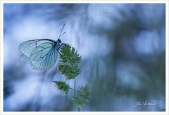 La gazé (Joce.V) Tags: papillon gazé aporiacrataegi piéridedelaubépine lépidoptère aporia animal nature bokeh canon canoneos5dmarkii canonef100mmf28macrousm